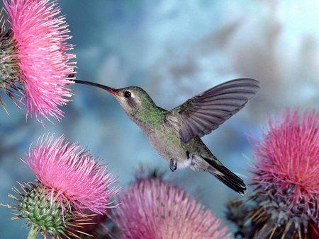 colibri bird